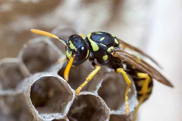 paper wasp crawling on nest