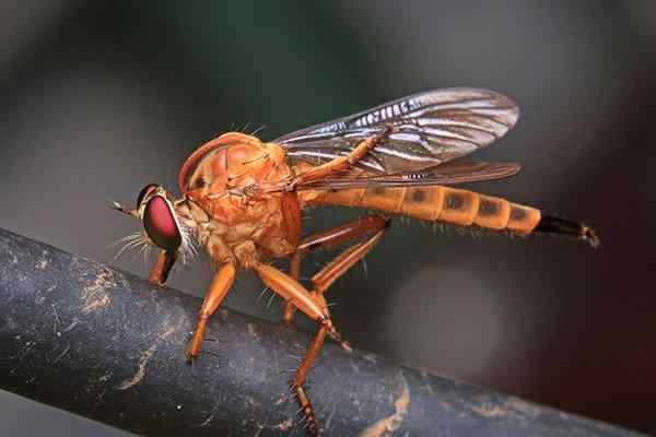 a phorid fly on a branch