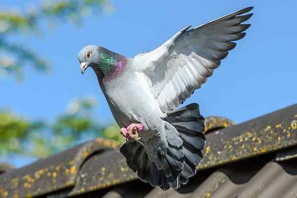 pigeon flying near a home