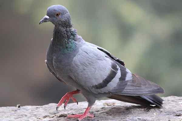 a pigeon walking on a sidewalk