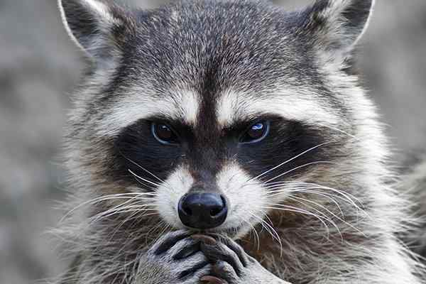 a raccoon in a houston yard