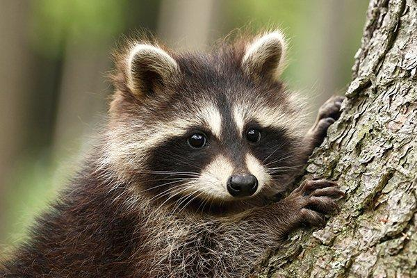 a raccoon hanging on a tree in a yard