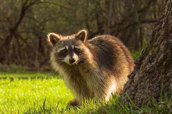 a raccoon looking for food in a yard