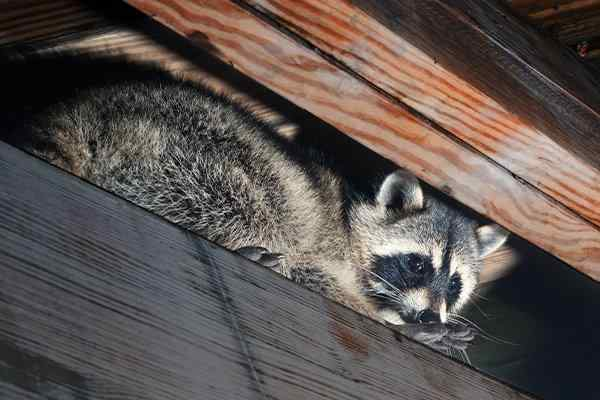 a raccoon crawling in an attic