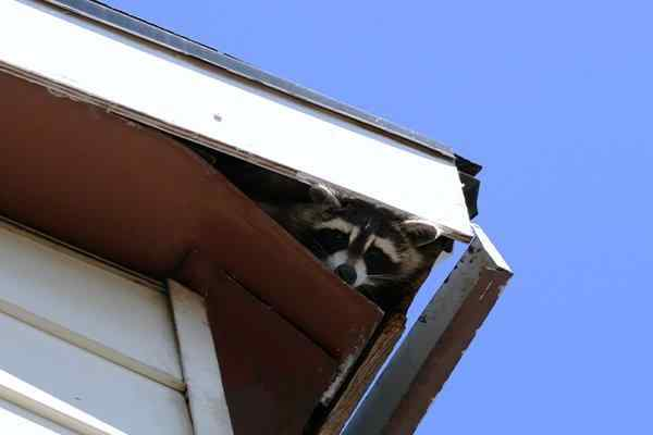 raccoon in eaves of house