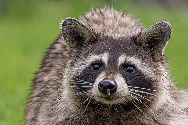 a raccoon standing on a lawn