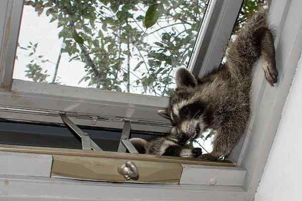 raccoons invading a home