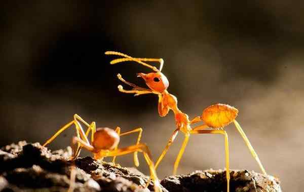 rad imported fire ants fighting on a leaf