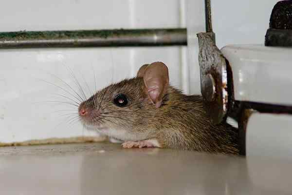 a roof rat crawling in a kitchen