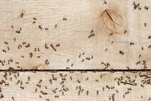 rover ants swarming on wood