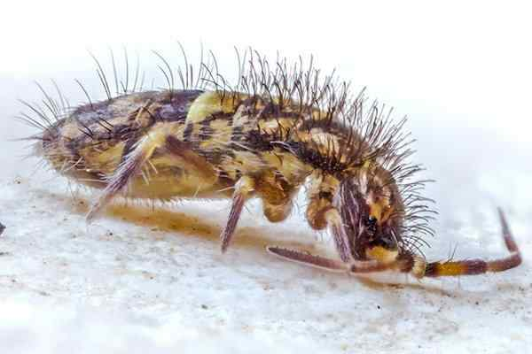 a springtail crawling on the ground