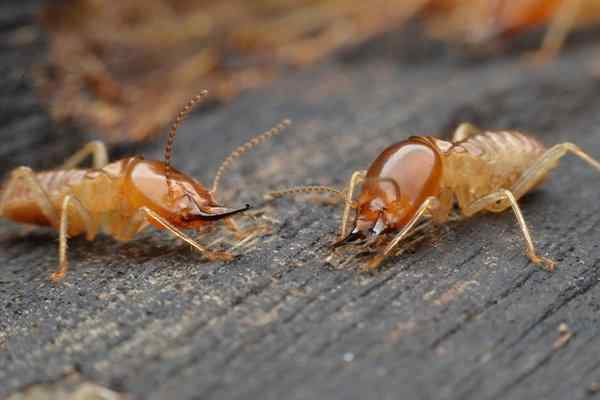 termites crawling on a wooden table