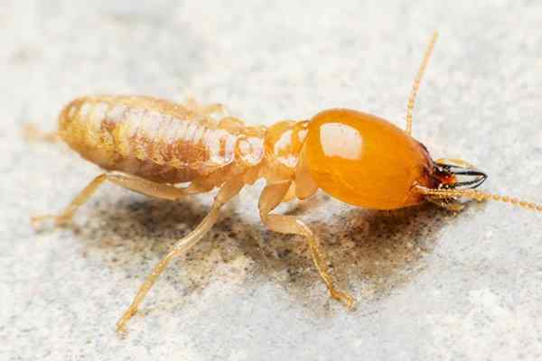 a termite crawling on a kitchen surface