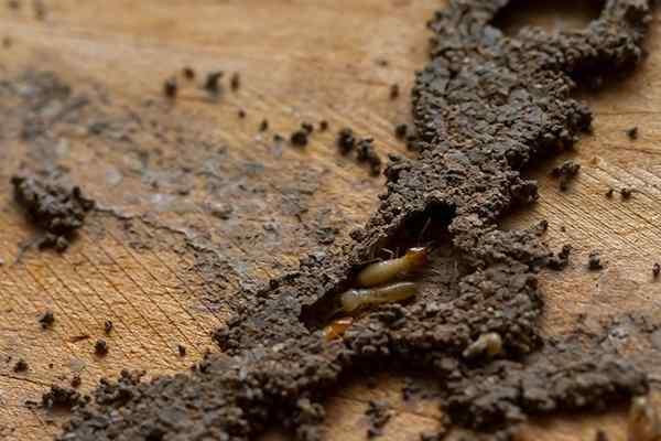 termites and mud tubes on wood