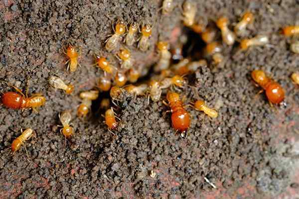 termites crawling out of a hole