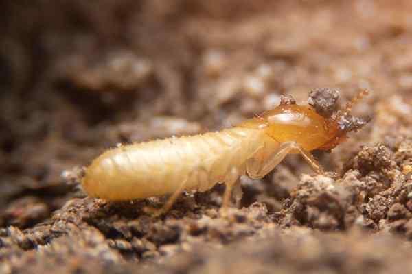 termite walking on chewed wood