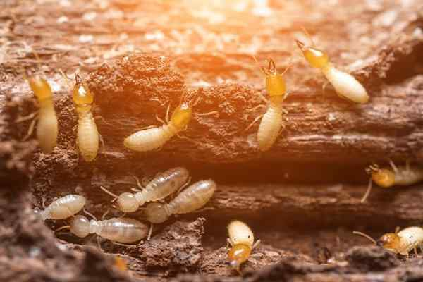 termites damaging wood in a home