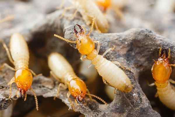termites nesting in wood