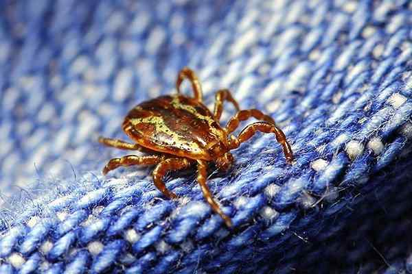 tick crawling on pants