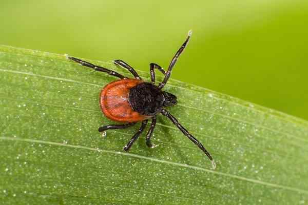 tick crawling on grass in a yard