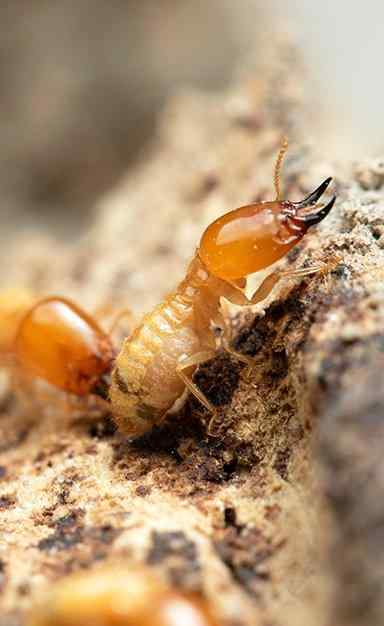 two termites crawling on wood