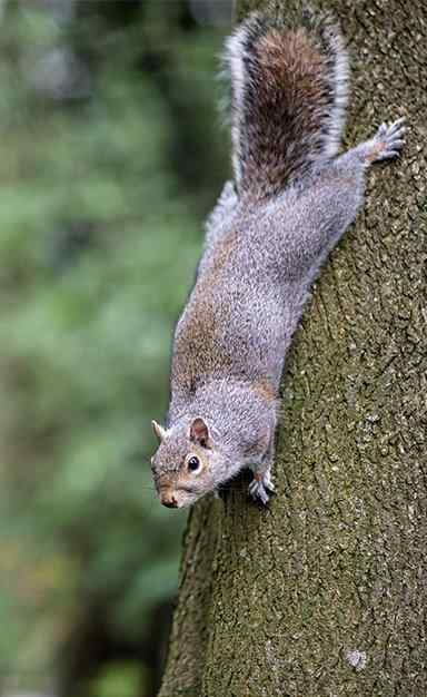 a squirrel climbing down a tree