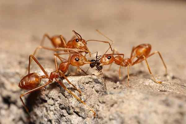 fire ants fighting over food