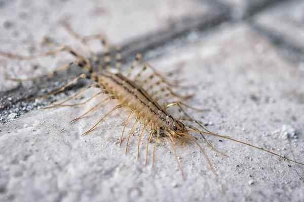 a house centipede on a tile floor