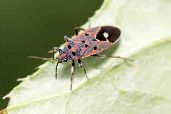 chinch bug in texas