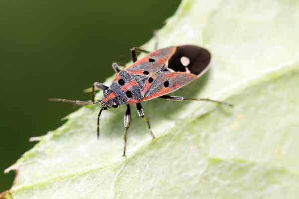 chinch bug in texas