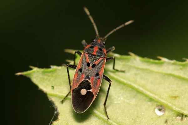 chinch bug on a leaf in texas