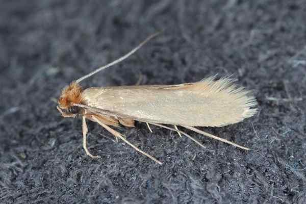 clothes moth up close