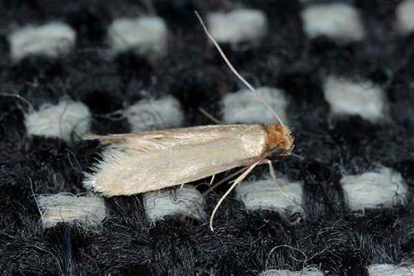 clothes moth on a pillow