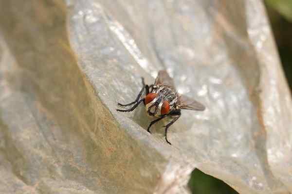 flesh fly on a dirty plastic bag