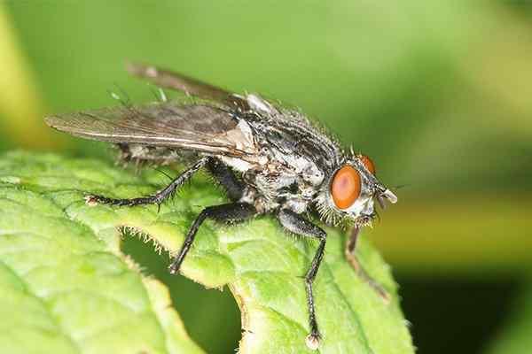 flesh fly on a leaf