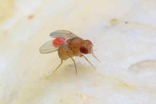 fruit fly in the kitchen