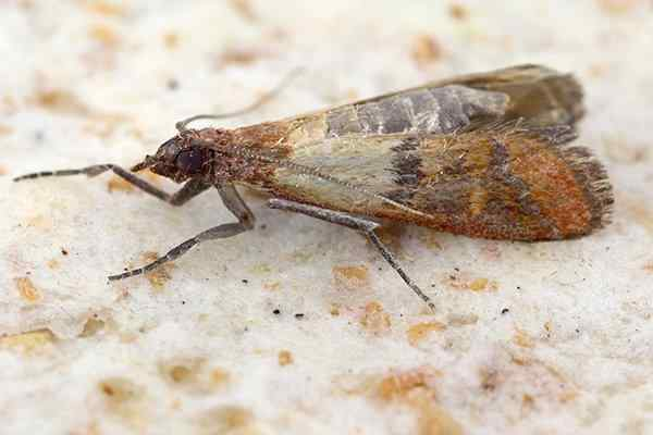 indian meal moth in home