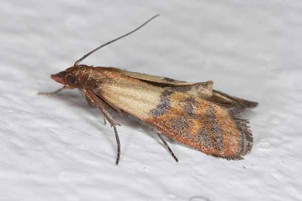 indian meal moth up close