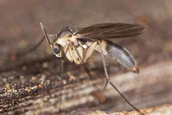 phorid fly on a piece of wood