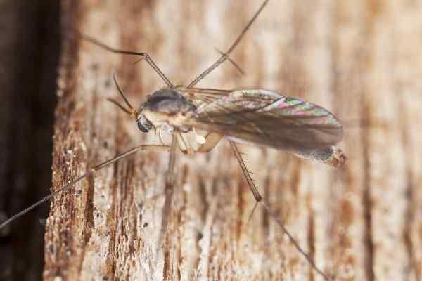 phorid flies in texas