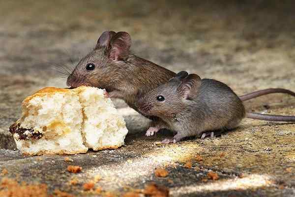 two small mice eating bread