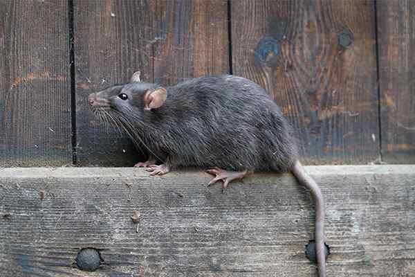 a rat on the side of a fence