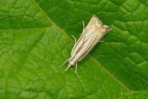 sod webworm on a leaf