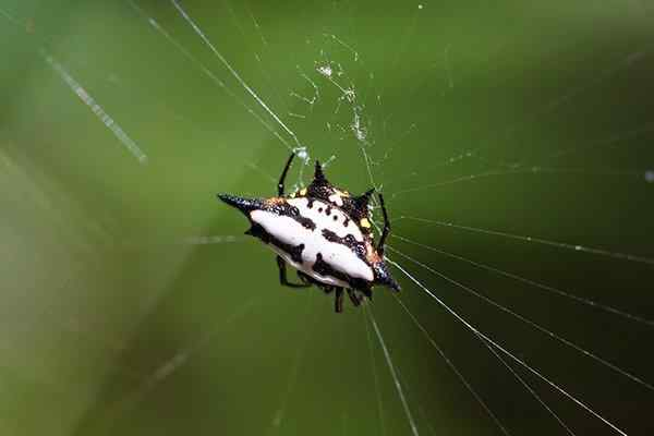 close up of a spinybacked orb weaver spider