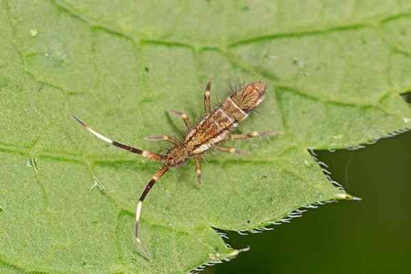springtail on a leaf