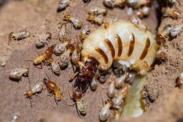 Profile Termites