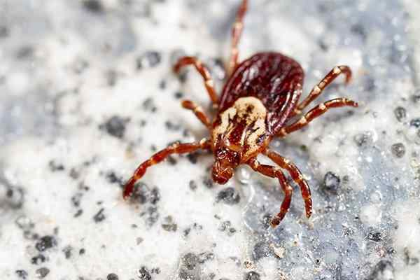 a dog tick on granite