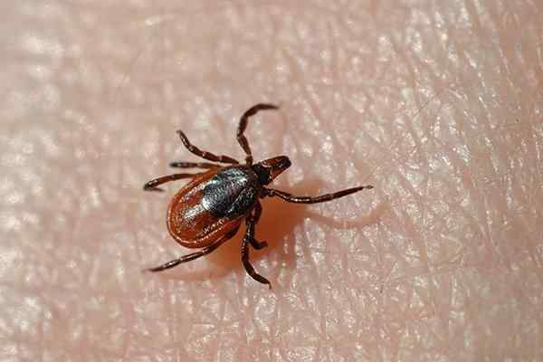 ticks crawling on a person