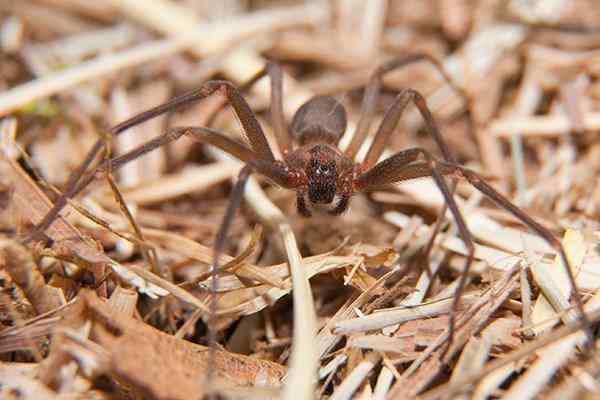 a brown recluse in dead dried grass