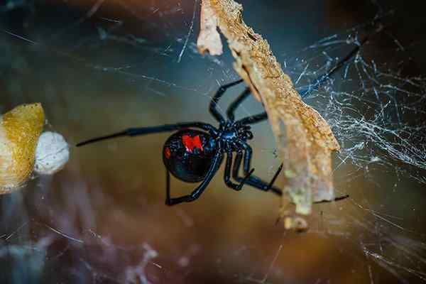 a black widow spider hanging in web